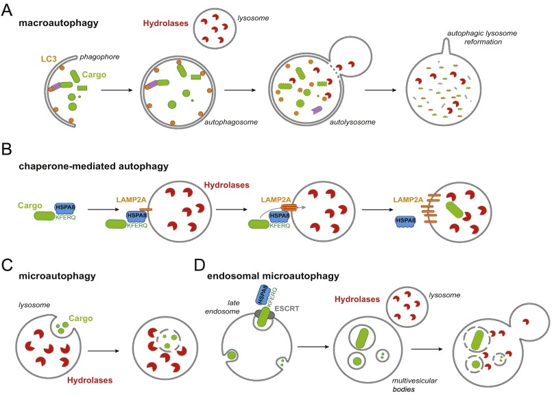 Autophagy And Lysosomal Pathways In Nervous System Disorders