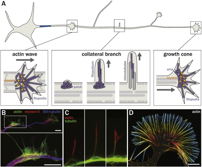The Functional Architecture Of Axonal Actin Sciencedirect