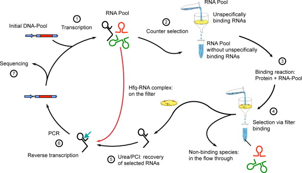 Genomic SELEX: A discovery tool for genomic aptamers