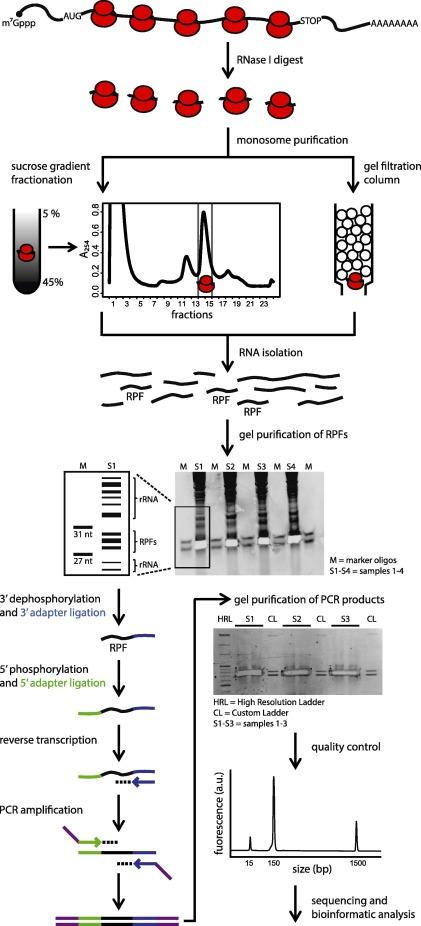 Transcriptome-wide measurement of ribosomal occupancy by