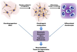 Mesenchymal stem cells in regenerative medicine: Focus on articular