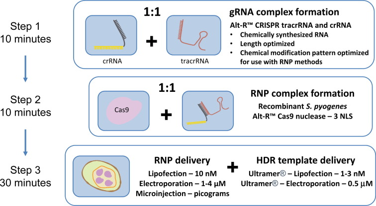 Simplified CRISPR tools for efficient genome editing and streamlined
