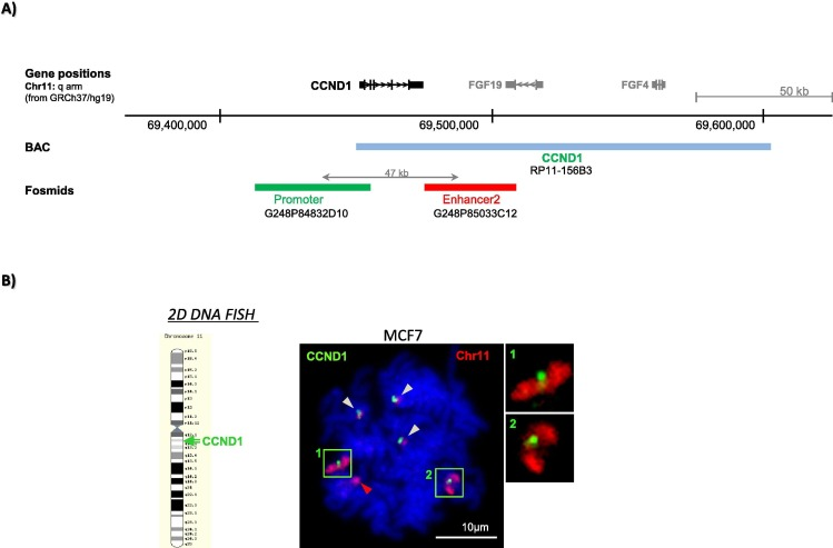 3d fish to analyse gene domain specific chromatin re modeling in download high res image 269kb fandeluxe Images