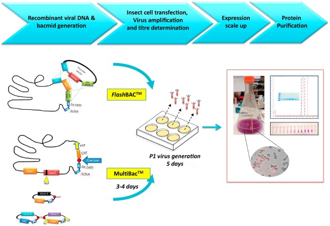 Expression of recombinant proteins in insect and mammalian