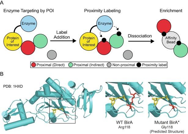 Towards Improving Proximity Labeling By The Biotin Ligase
