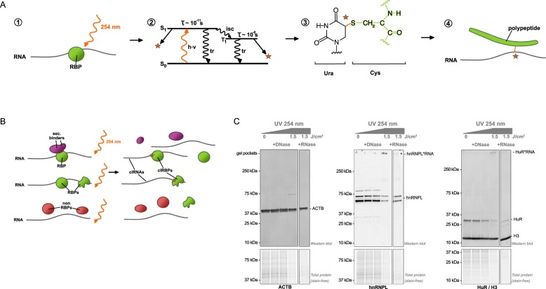 Fast and unbiased purification of RNA-protein complexes after UV  cross-linking - ScienceDirect