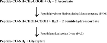 Peptidylglycine-amidating monooxygenase reaction
