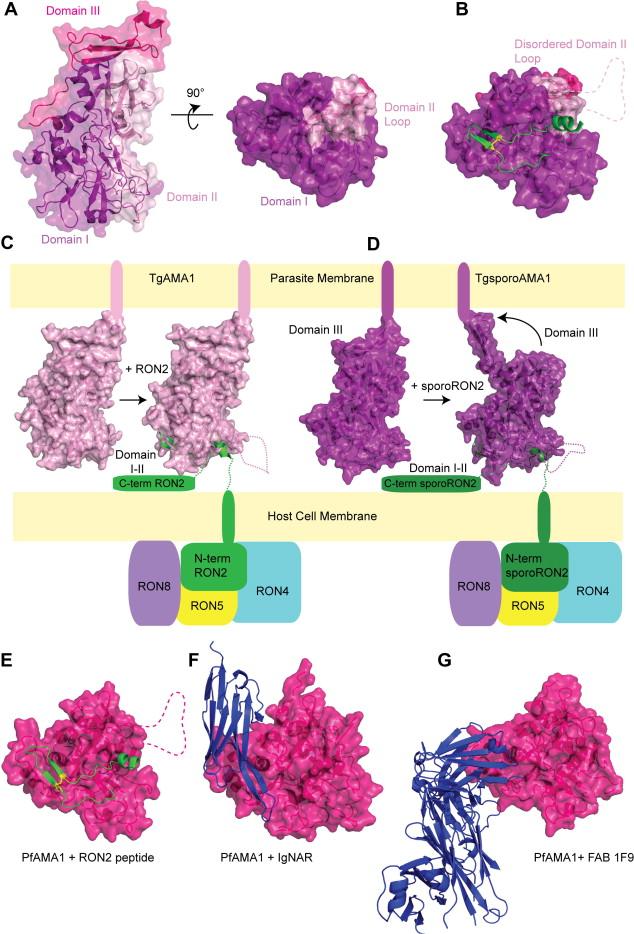 apicomplexan glideosome and adhesins