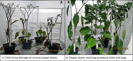 Management of chilli thrips Scirtothrips dorsalis (Thysanoptera