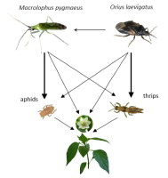 Increased control of thrips and aphids in greenhouses with