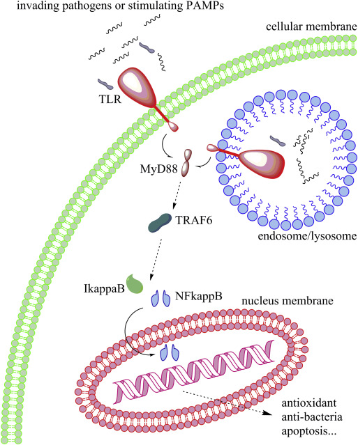 The immune system and its modulation mechanism in scallop ...