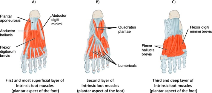 Image result for foot muscles