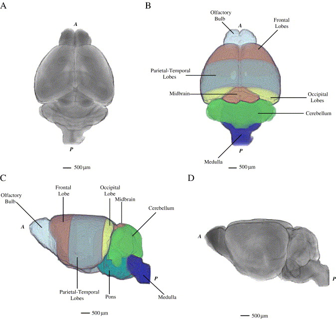 Three dimensional cerebral vasculature of the cba mouse brain a cba average mouse brain surfaces a superior view b superior view with major lobar regions depicted c left view with major lobar regions depicted ccuart Gallery