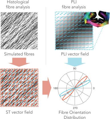 Evaluating fibre orientation dispersion in white matter