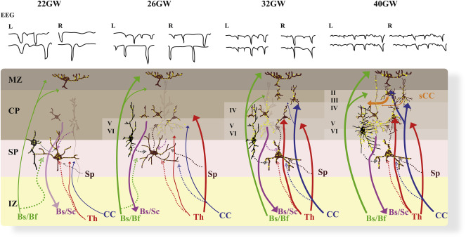 Exploring early human brain development with structural and