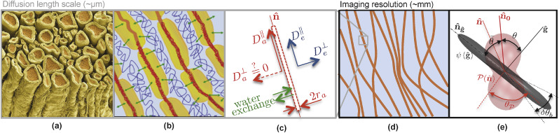 On the scaling behavior of water diffusion in human brain