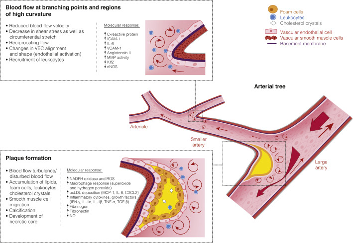 Mechanotransduction in Blood and Lymphatic Vascular