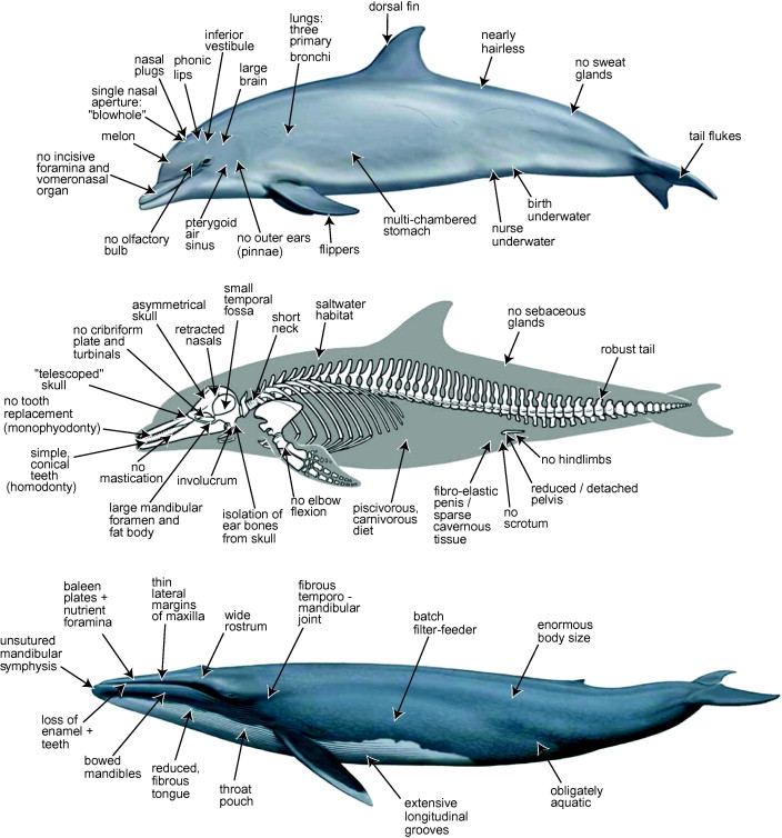 A phylogenetic blueprint for a modern whale - ScienceDirect