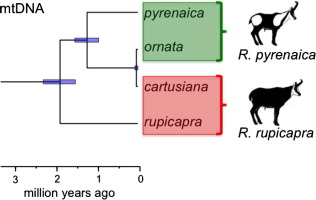 The shared mitochondrial genome of Rupicapra pyrenaica