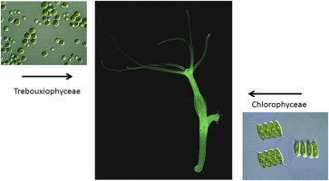 hydra and algae mutualism