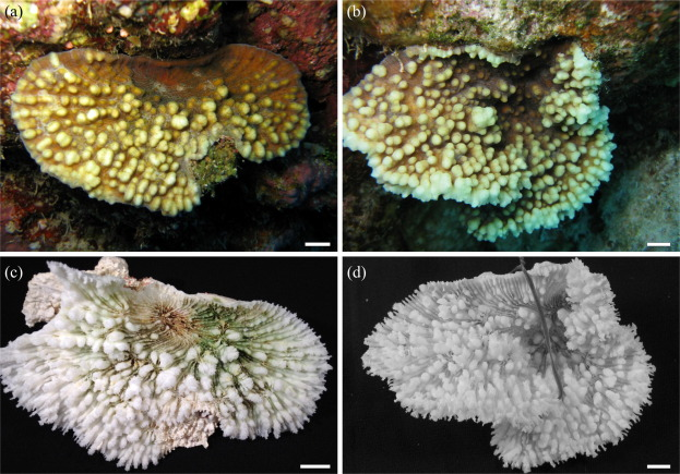 Species delimitation in the reef coral genera Echinophyllia and