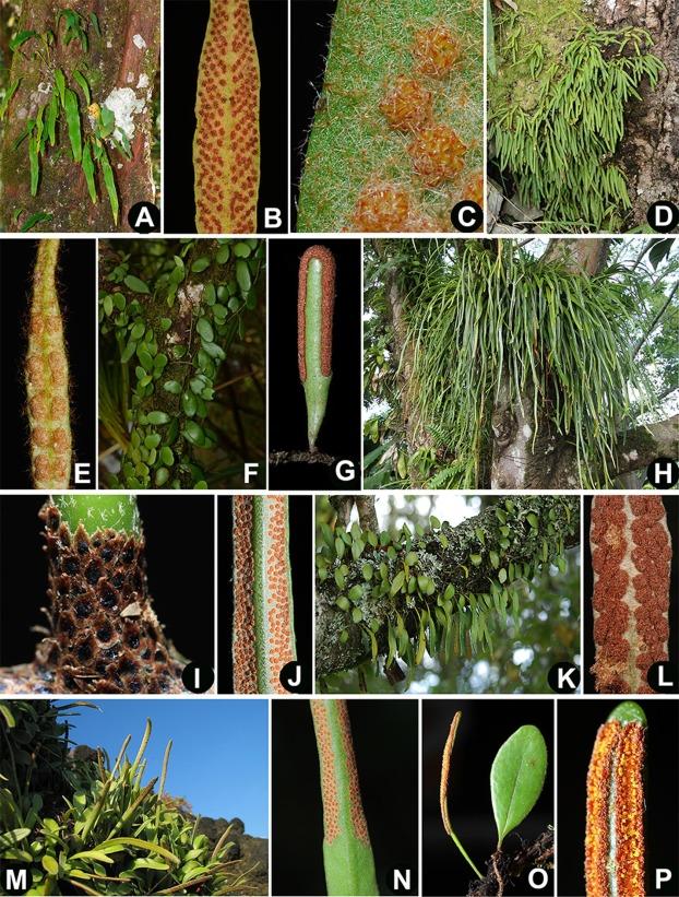 Drymoglossum Piloselloides Pdf