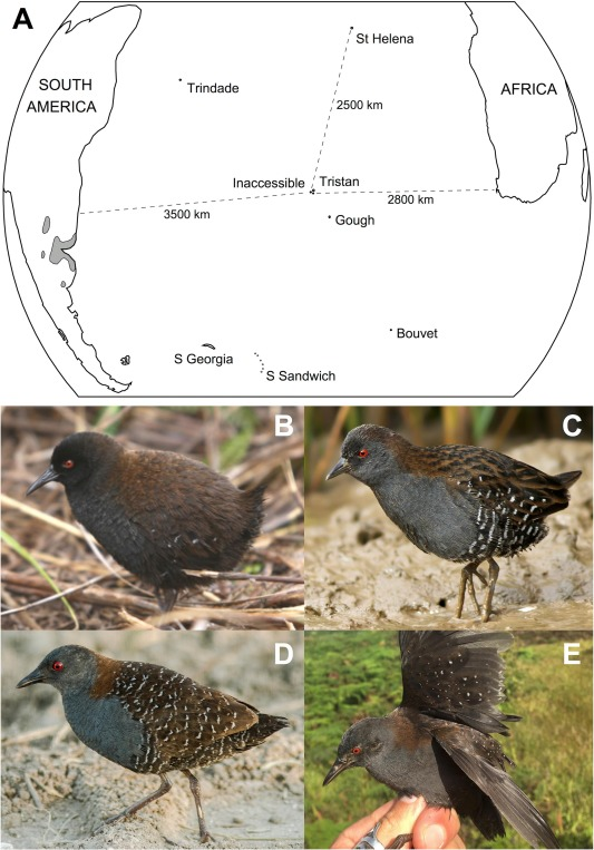 The Origin Of The Worlds Smallest Flightless Bird The Inaccessible