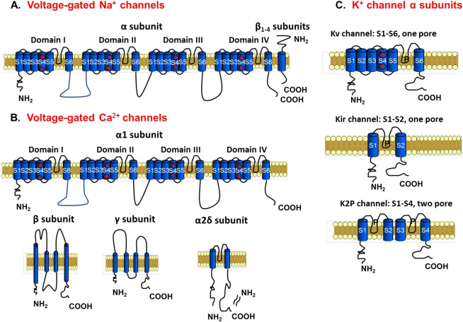 voltage gated k+ channels action potential
