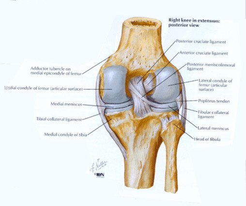 Anatomy and Biomechanics of the Posterior Cruciate Ligament and ...