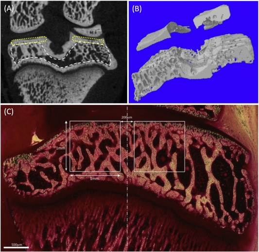 A novel rat model for subchondral microdamage in acute knee