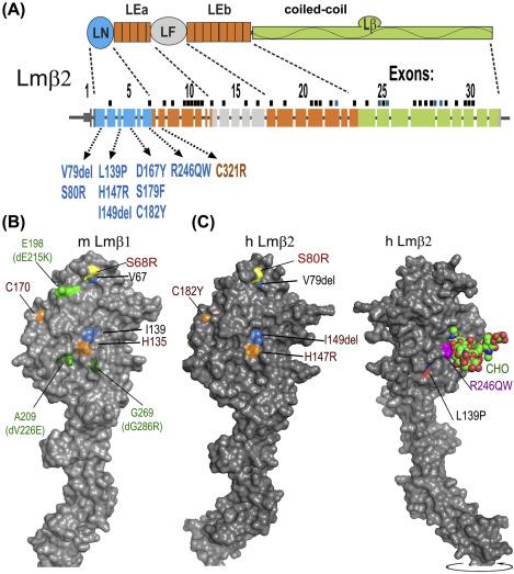 Integrating Activities of Laminins that Drive Basement Membrane