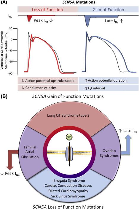 Cardiac Sodium Channel Mutations: Why so Many Phenotypes
