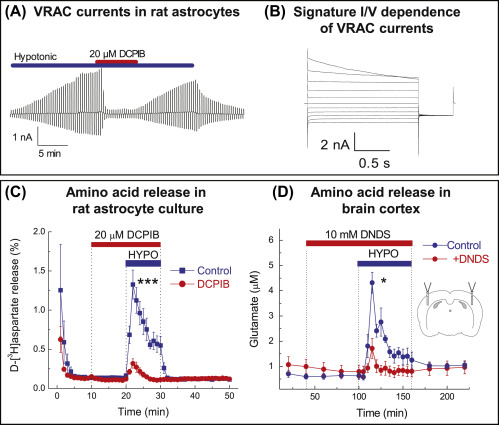 Cell Volume Control in Healthy in and Neuropathologies ... on
