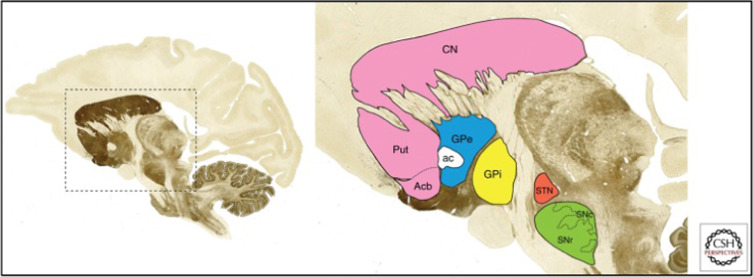 Anatomy, Physiology, and Clinical Syndromes of the Basal Ganglia: A ...