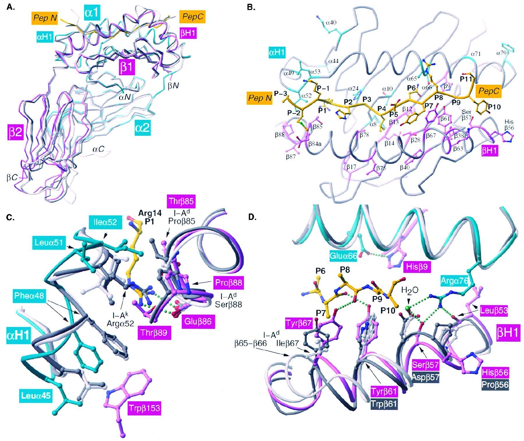 I Ag7 Structure Comparison(A) Comparison Of I Ag7 (α Chain
