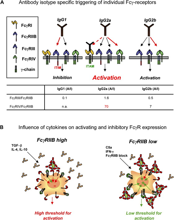 Fcγ Receptors: Old Friends And New Family Members - ScienceDirect