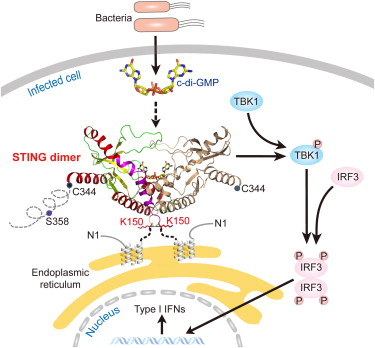 Structural Analysis of the STING Adaptor Protein Reveals a