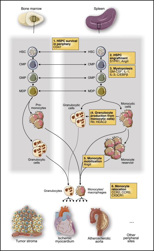 The Spleen In Local And Systemic Regulation Of Immunity Sciencedirect