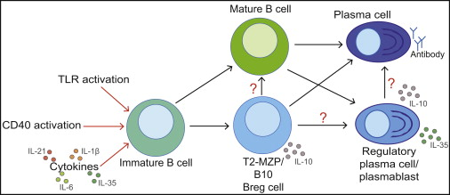 T cells mature in