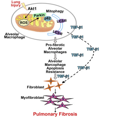 Macrophage Akt1 Kinase-Mediated Mitophagy Modulates Apoptosis
