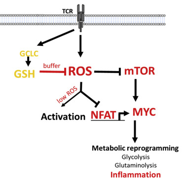 Glutathione Primes T Cell Metabolism for Inflammation