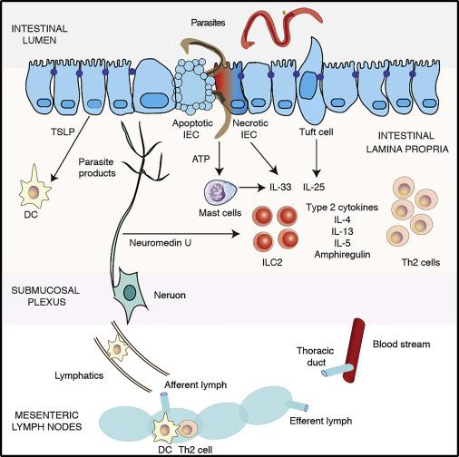 helminth induced immunity)