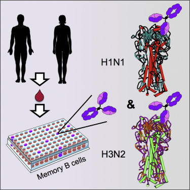 Memory B Cells that Cross-React with Group 1 and Group 2 ...