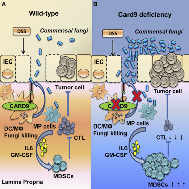 The Adaptor Protein CARD9 Protects against Colon Cancer by