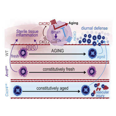 A Neutrophil Timer Coordinates Immune Defense and Vascular
