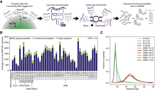 Defining HLA-II Ligand Processing and Binding Rules with