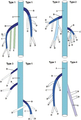 Anatomical Study of the Gastrocnemius Venous Network and Proposal ...