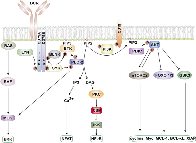 b cell receptor signaling in the pathogenesis of lymphoid