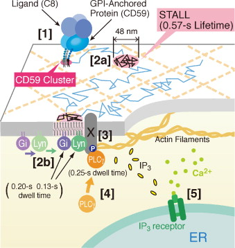 Membrane Mechanisms For Signal Transduction The Coupling Of The Meso Scale Raft Domains To Membrane Skeleton Induced Compartments And Dynamic Protein Complexes Sciencedirect