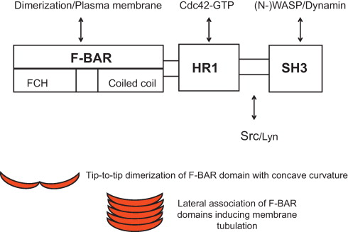 Biochemical And Functional Significance Of F Bar Domain Proteins